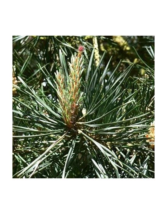 Pine Nr. 25 Fiori di Bach...