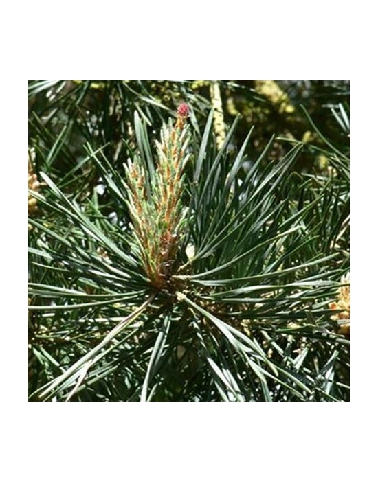BIO Bachblüten Tropfen Nr. 24 Pine / Kiefer