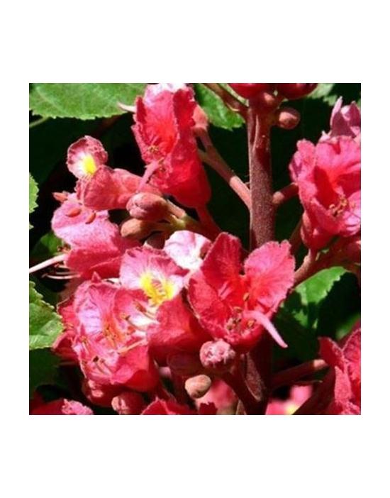 Bio Bachblüten Nr. 25 Red Chestnut / rote Kastanie