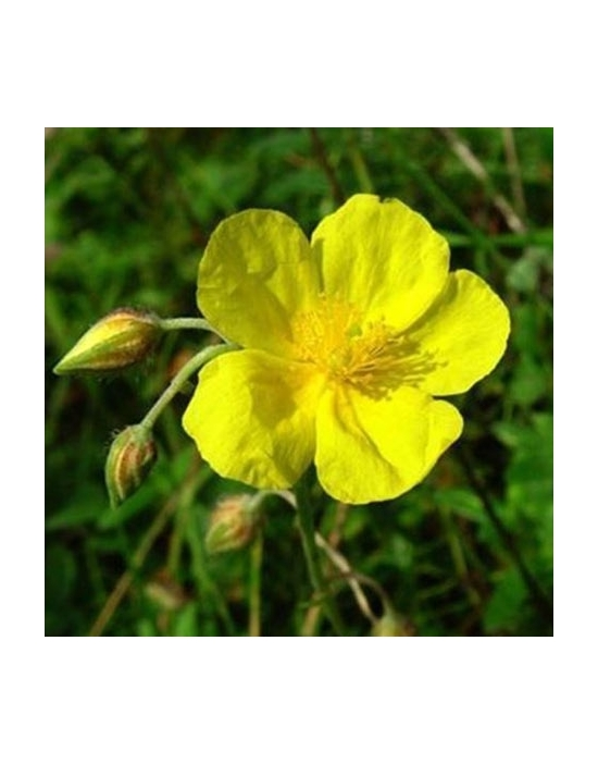 Rock Rose / Sonnenröschen Bio Bachblüten Tropfen Nr. 26