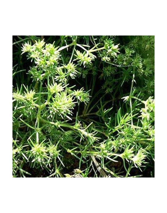 Scleranthus Bio Bachblüten Nr. 28 einjähriges Knäuel