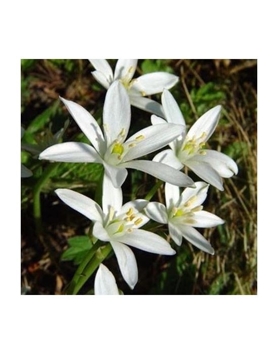 Bio Bachblüten Tropfen Nr. 29 Star of Bethlehem