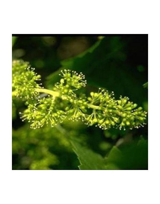 Vine/ Weinrebe Nr. 32 Bio...