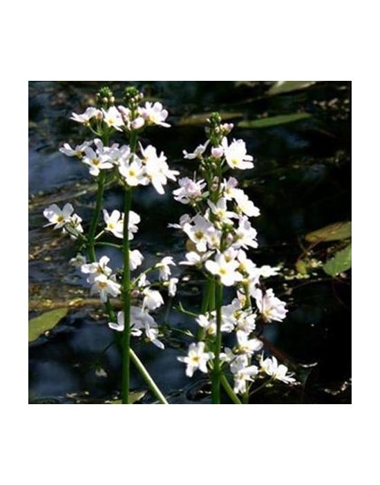 Water Violet Nr. 34 Fiori di Bach BIO