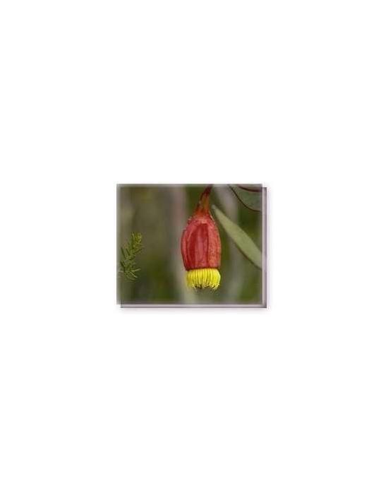 Bachblüten Fuchsia Gum Living Essences