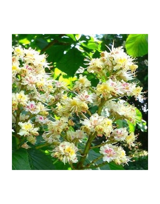 White Chestnut organic Bach Flower Remedies No. 35