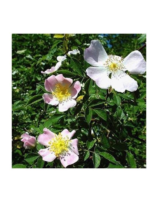Wild Rose Bio Bachblüten Tropfen Nr. 37 Hundsrose