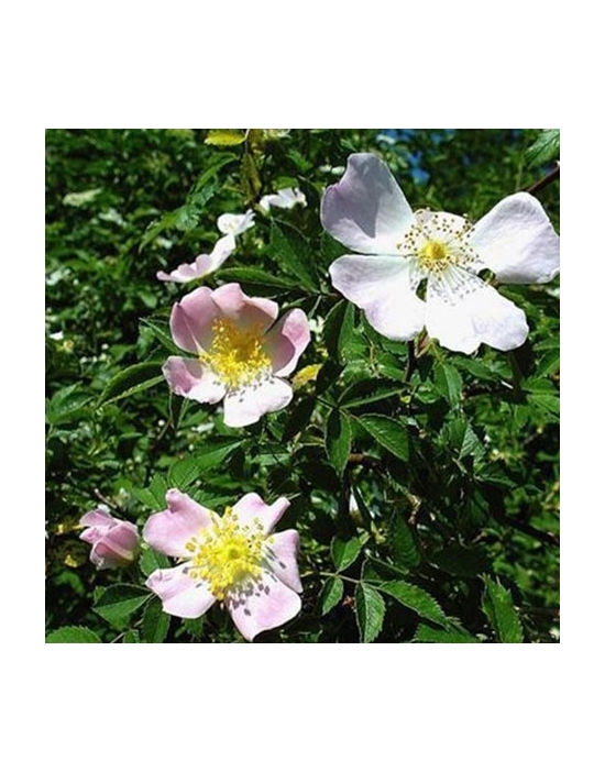 Wild Rose organic Bach Flower Remedies No. 37
