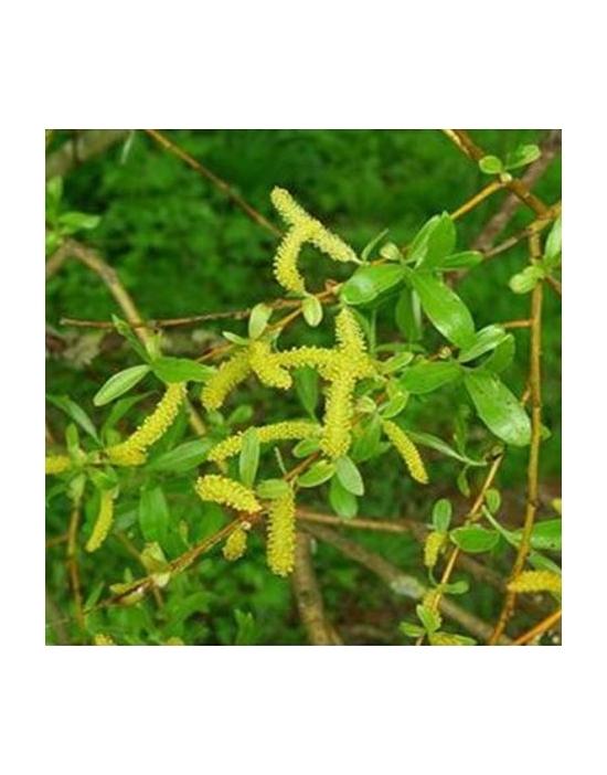 Willow Bio Bachblüten Tropfen Nr. 38 Weide