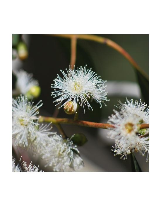 Ribbon Gum Australische Buschblüten Love Remedies