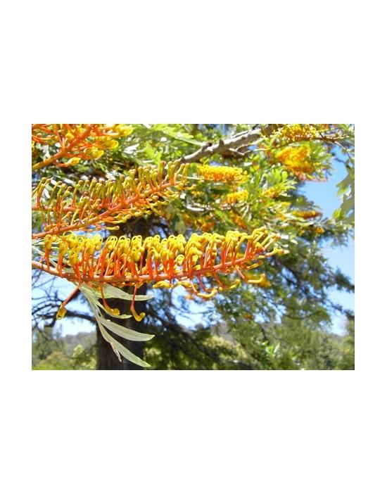 Australische Buschblüten Silky Oak Australian Flower Essences