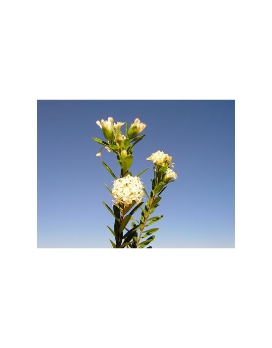 Slender Rice Buschblüten Australian Flower Essences