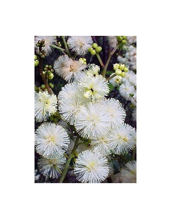 Australian Flower Essences Sunshine Wattle