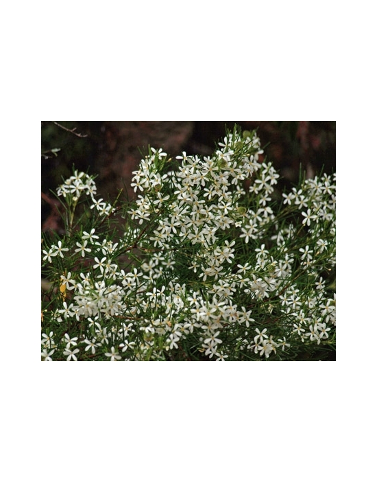 Australische Buschblüten Wedding Bush Australian Flower Essences