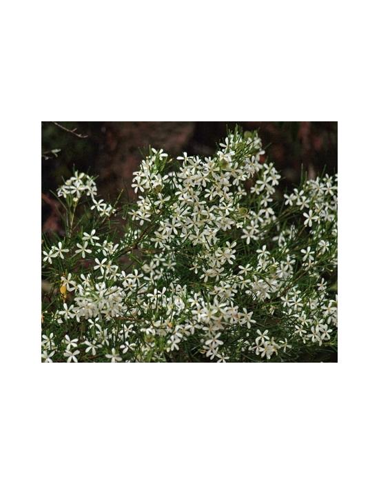 Australian Flower Essences Wedding Bush