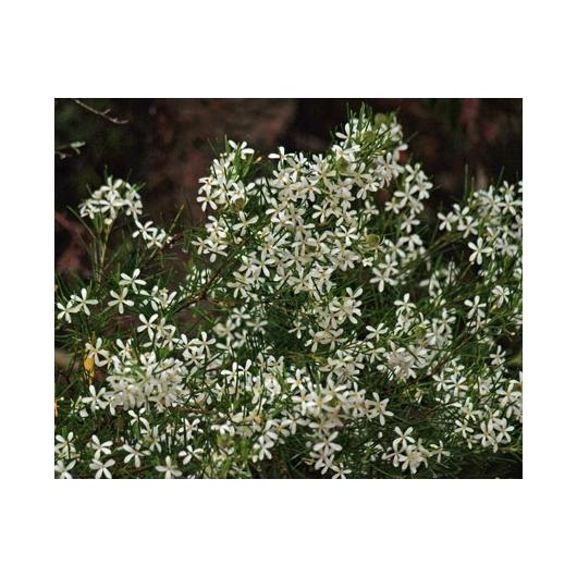 Australian Flower Essences Wedding Bush fiore