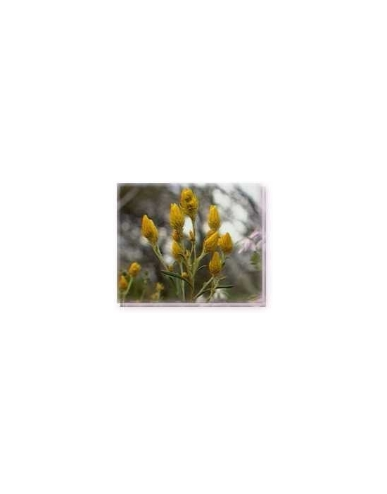 Fiore Golden Waitsia Living Essences