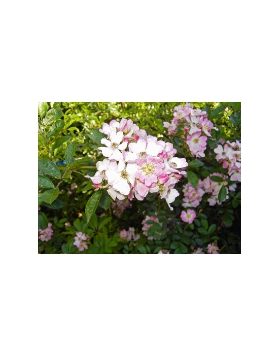 Wild Rose Australian Flower Essences