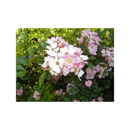 Wild Rose Buschblüten Australian Flower Essences