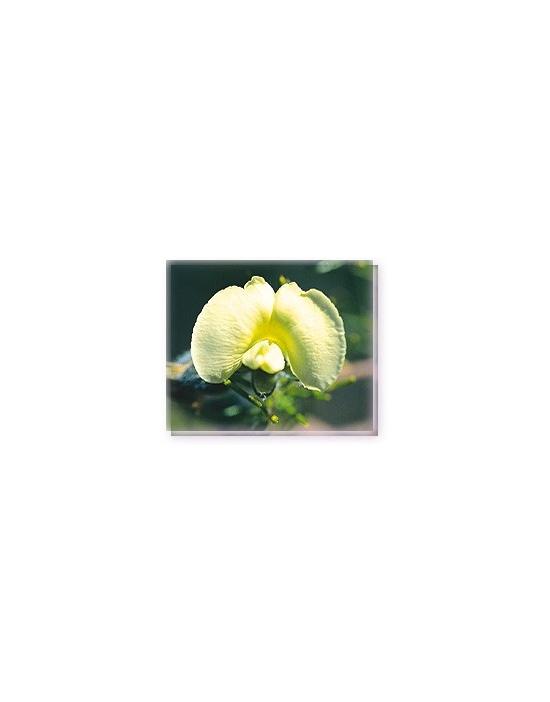 Bachblüten Hairy Yellow Pea Living Essences