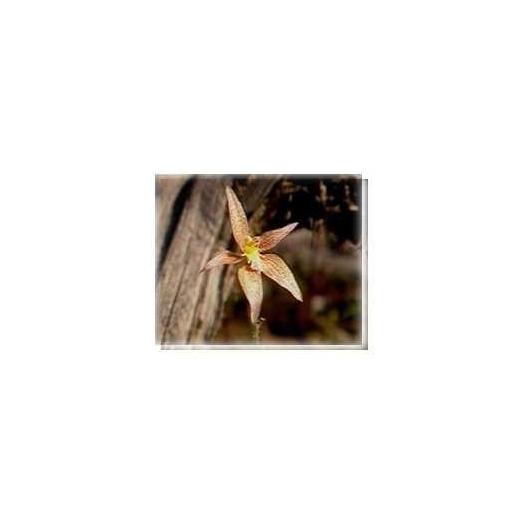 Bachblüten Hybrid Pink Fairy Orchid Living Essences Stockbottle