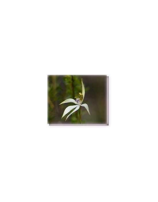 Bachblüten Leafless Orchid Living Essences Stockbottle