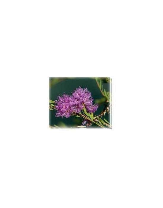 Bachblüten Mauve Melaleuca Living Essences