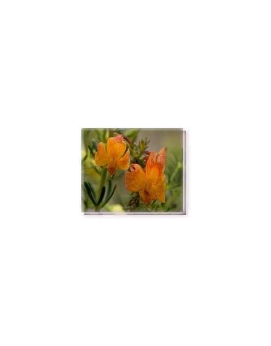 Bachblüten Orange Leschenaultia Living Essences