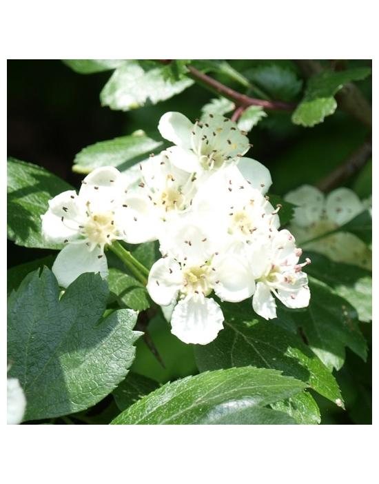 WEIßDORN Blüte Miracle Essences Blütenessenzen