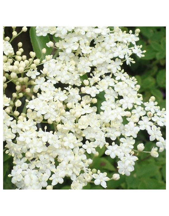 HOLUNDER Blüten Miracle Essences Blütenessenzen