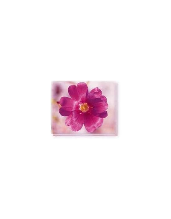 Bachblüten Parakeelya Living Essences