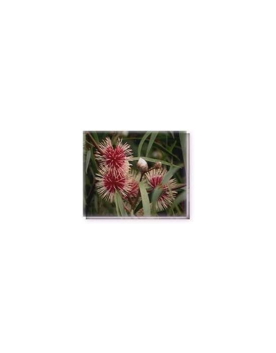 Bachblüten Pinkcushion Hakea Living Essences