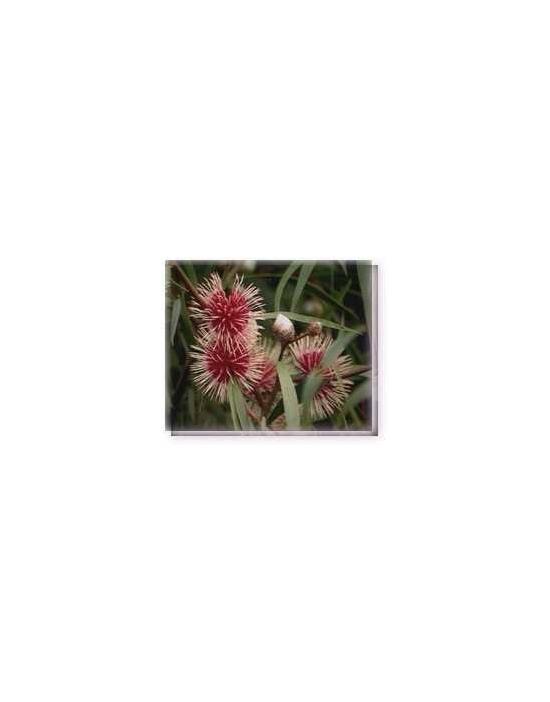 Bachblüten Pinkcushion Hakea Living Essences