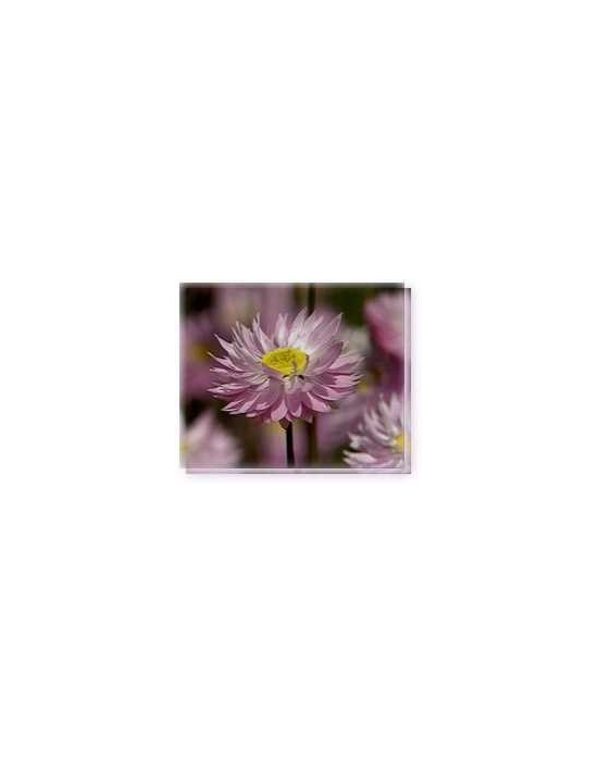 Fiore Pink Everlasting Living Essences