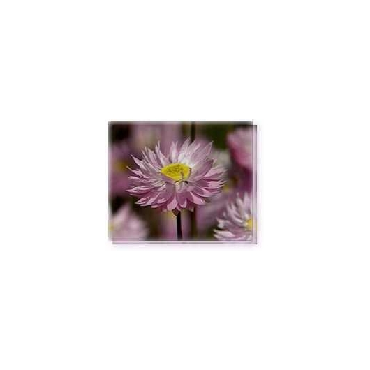 Bachblüten Pink Everlasting Living Essences