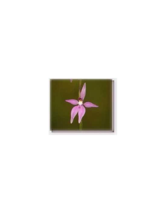 Bachblüten Pink Fairy Orchid Living Essences