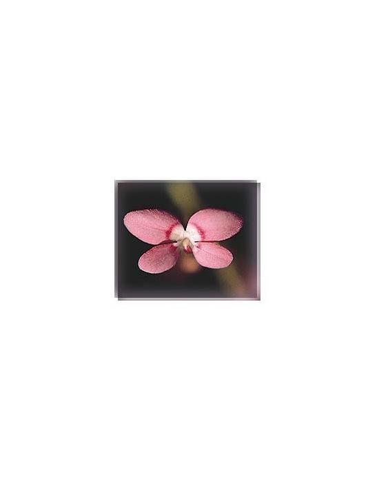 Bachblüten Pink Fountain Triggerplant Living Essences
