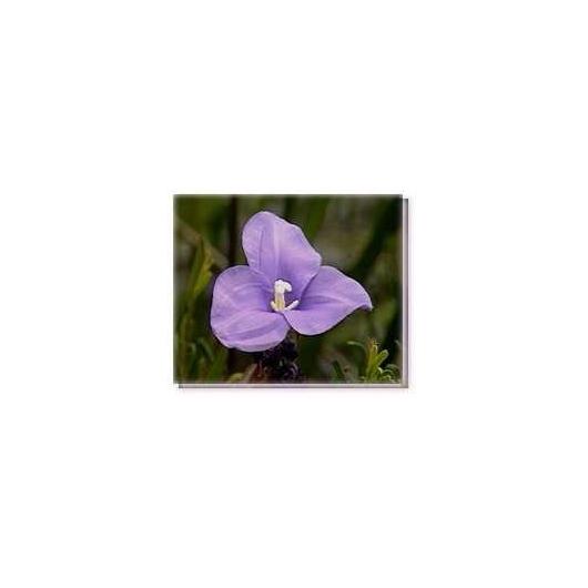 Bachblüten Purple Flag Flower Living Essences