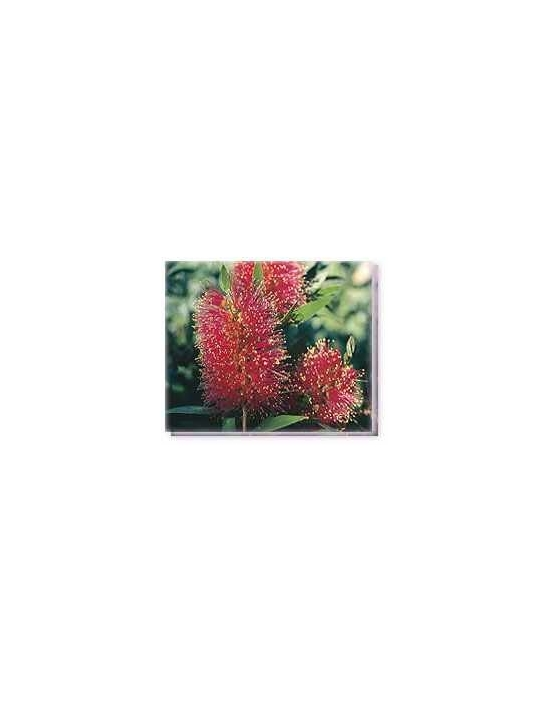 Bachblüten Queensland Bottlebrush Living Essences