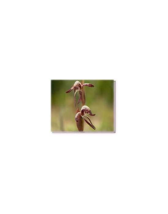 Bachblüten Red Beak Orchid Living Essences