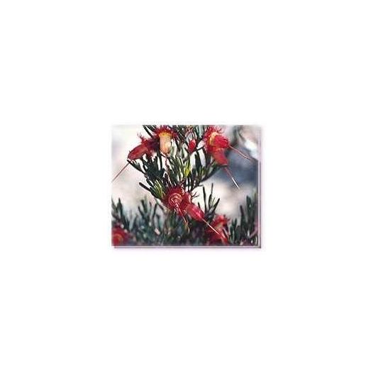Bachblüten Red Feather Flower Living Essences