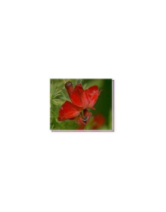 Bachblüten Red Lenschenaultia Living Essences