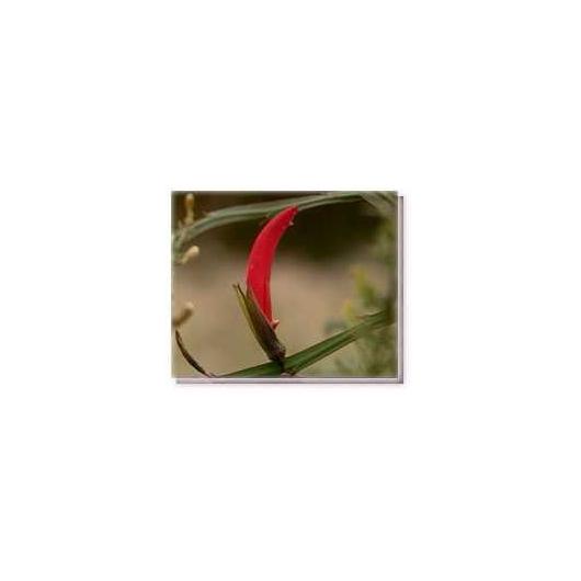 Bachblüten Ribbon Pea Living Essences