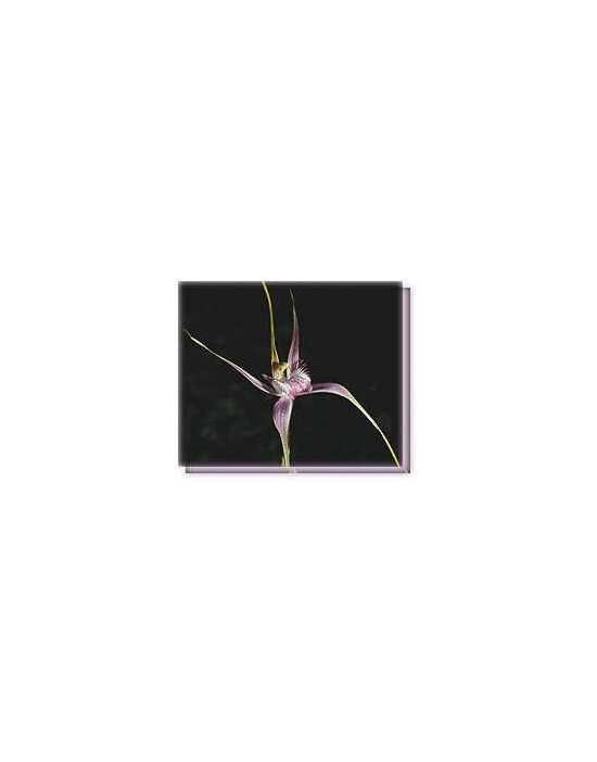 Bachblüten Start´s Spider Orchid Living Essences