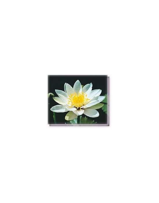 Bachblüten White Nymph Waterlily Living Essences