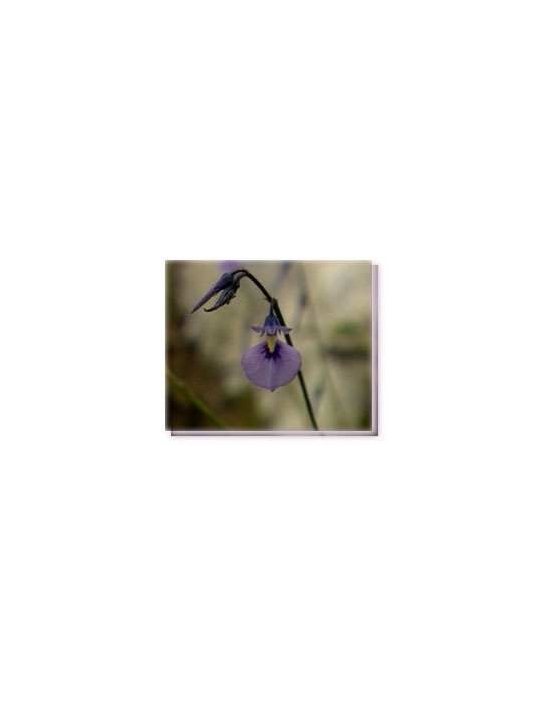 Bachblüten Wild Violet Living Essences