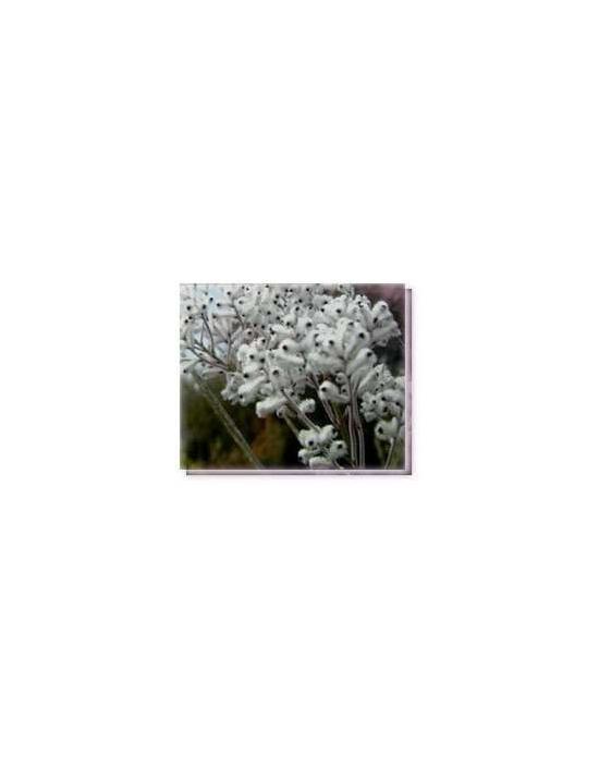 Fiore Wooly Smokebush Living Essences
