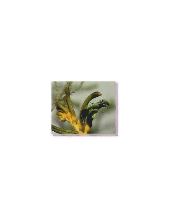 Bachblüten Yellow and Green Kangaroo Paw Living Essences