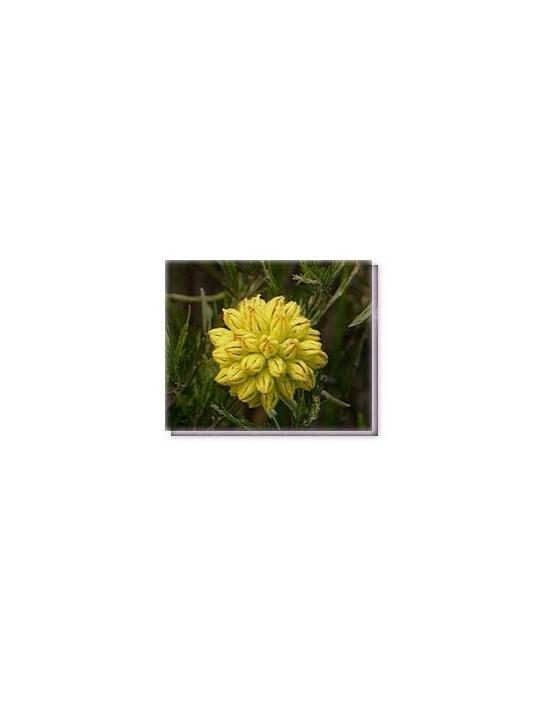 Bachblüten Yellow Cone Flower Living Essences