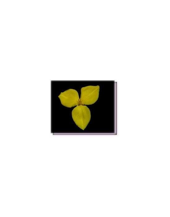 Fiore Yellow Flag Flower Living Essences